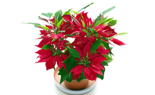 Пуансеттия рождественская звезда уход в домашних условиях 477
